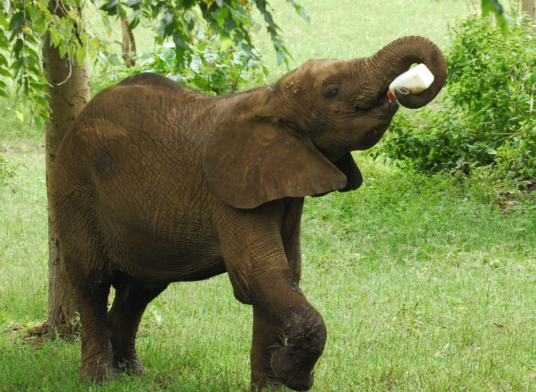 Elephant Burigi