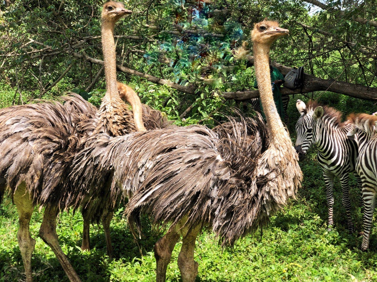 Common Ostrich Dorothy, Rose & Blanche
