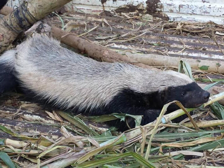Rescue and release of honeybadger